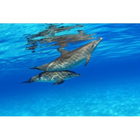 Caribbean Bahamas Bahama Bank Two Atlantic Spotted Dolphin Stenella Plagiodon Stretched Canvas - Dave Fleetham  Design Pics (36 x 24) (Piggy Bank Dolphins)