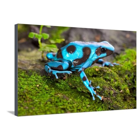Frog in Tropical Rain Forest Blue Poison Dart Frog Dendrobates Auratus of Rainforest in Panama Beau Stretched Canvas Print Wall Art By kikkerdirk