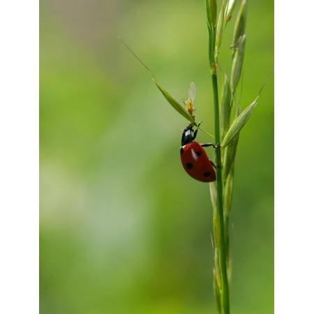 7-Spot Ladybird, Climbing up Grass Stem, Rutland, UK Print Wall Art By Elliot Neep