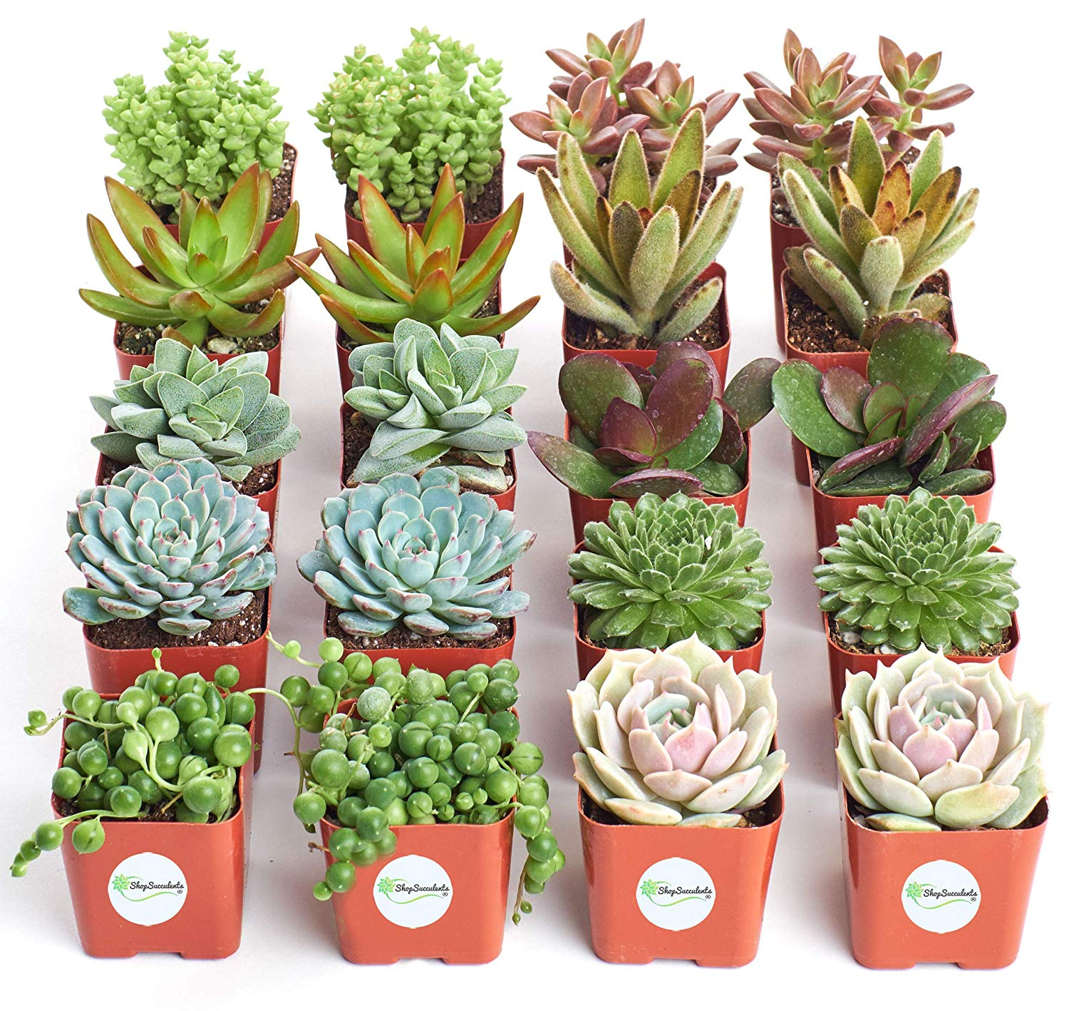 Shop Succulents Assorted Succulent Collection Of 20 Walmart