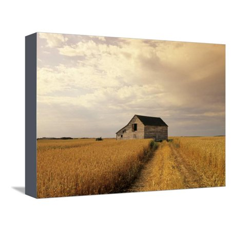 Old Barn in Maturing Spring Wheat Field, Tiger Hills, Manitoba, Canada. Country Farm Landscape Photo Stretched Canvas Print Wall Art By Dave - Spring Barn Farm Halloween