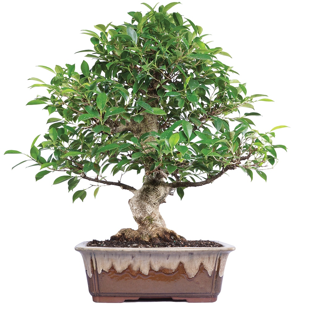 Brusselu0027s Golden Gate Ficus Bonsai   X Large   (Indoor)