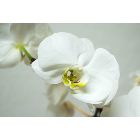 - Peel-n-Stick Poster of Orchid Beauty Bloom Tropical Blossom Phalaenopsis Poster 24x16 Adhesive Sticker Poster Print