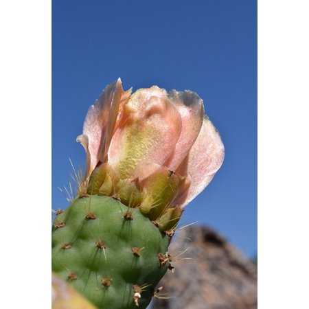 LAMINATED POSTER Cactus Prickly Pear Prickly Cactus Greenhouse Plant Poster Print 24 x 36