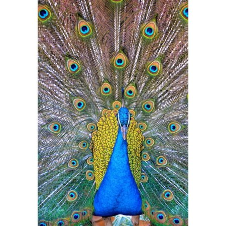 LAMINATED POSTER Birds Peacock Blue Peacock Feathers Pattern Green Poster Print 24 x 36