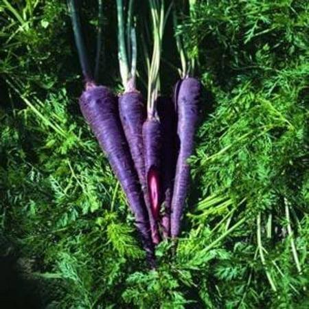 Carrot Purple Haze Hybrid Great Vegetable 100 (White Vegetable That Looks Like A Carrot)