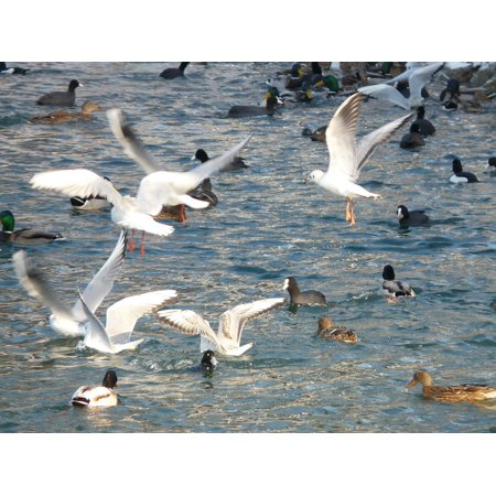 Canvas Print Scrum Water Gulls Feeding Ducks Coots Stretched Canvas 10 x 14
