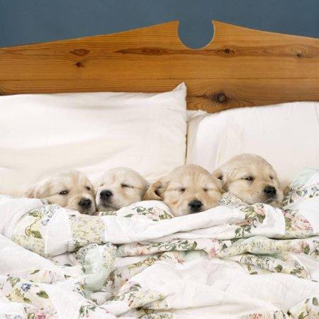 Golden Retriever Puppies, 4 in a Bed Print Wall Art 4' Golden Retriever Face