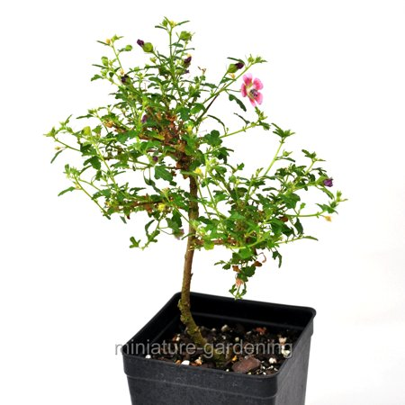 Anisodontas hypomondarum, Starter Bonsai Plant, Dwarf Hibiscus (Pink Hibiscus)
