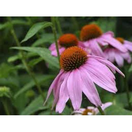 The Dirty Gardener Echinacea Purpurea Tall Purple Coneflower Seeds - 1 Ounce