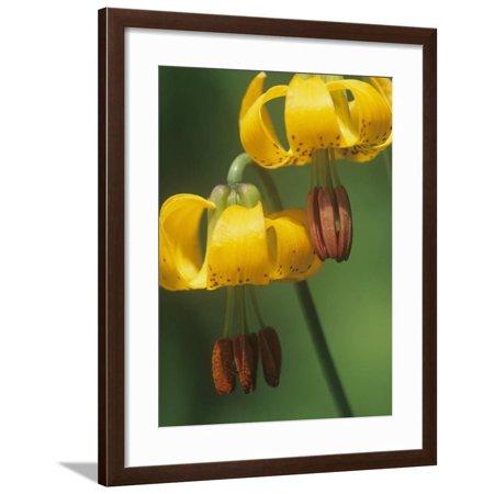 Columbia Tiger Lily, Lilium Columbianum, Northwestern North America Framed Print Wall Art By Adam Jones