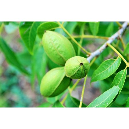 - Canvas Print Green Elongated Snack Ingredient Nuts Pecan Tree Stretched Canvas 10 x 14