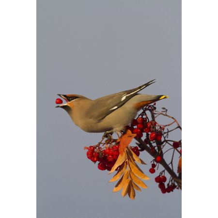 Bohemian Waxwing perches to eat in colorful Mountain Ash berries in winter in the Anchorage Alaska area of Southcentral Alaska Canvas Art - Doug Lindstrand Design Pics (12 x 18)