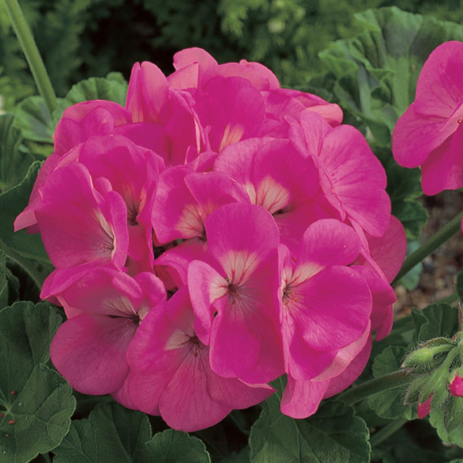 Maverick F1 Series Geranium Flower Garden Seeds - Appleblossom - 100 Seeds - Annual Flower Gardening Seed - Pelargonium x hortorum