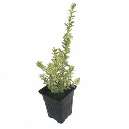 Variegated Biblical Myrtle Plant - Myrtus - Ancient Herb - 4