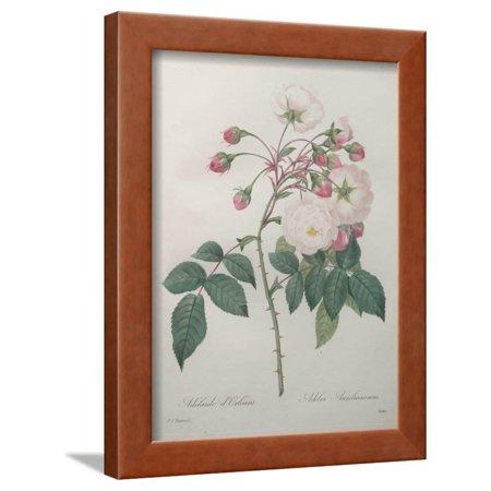 Adelaide of Orleans Rose Framed Print Wall Art By Pierre-Joseph (Frame Shop Adelaide)