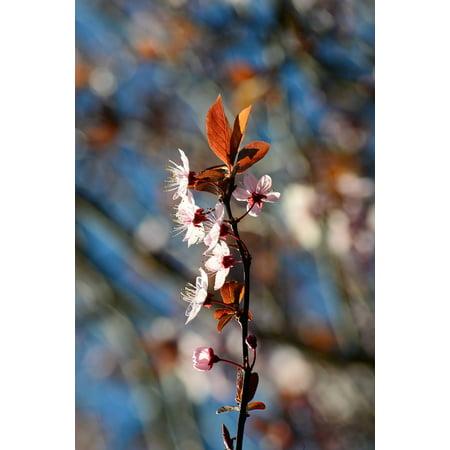 LAMINATED POSTER Plum Cherry Chinese Plum Blossom Pink Prunus Poster Print 24 x 36