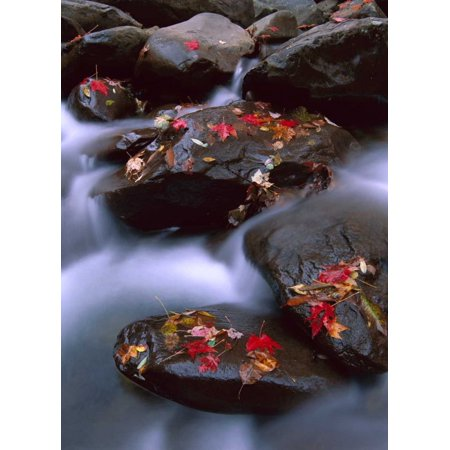 Little Pigeon River and fall Maple leaves Great Smoky Mountains National Park Poster Print by Tim Fitzharris