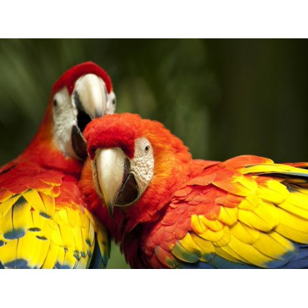 Scarlet Macaws at Zoo Ave Park, Outside San Jose Print Wall Art By Paul Souders ()