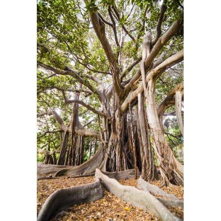 Large Twisted Roots of a Moreton Bay Fig Tree (Banyan Tree) (Ficus Macrophylla) Print Wall Art By Matthew (Moreton Bay Fig Tree In Santa Barbara)