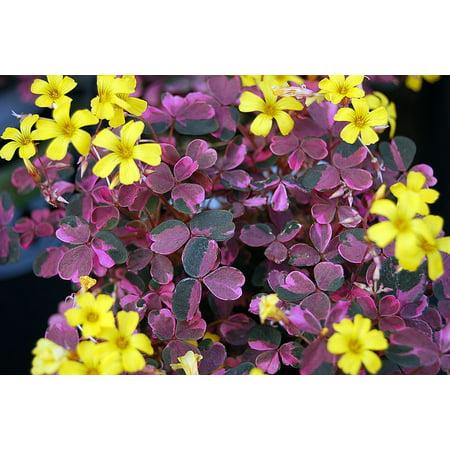 Plum Crazy Shamrock   Oxalis   2 5  Pot   Fairy Garden Plant Or House Plant