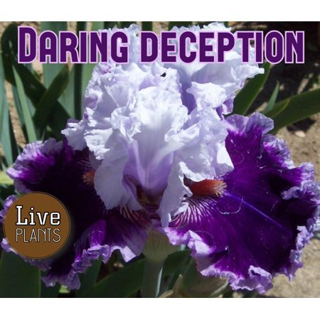 Bearded Iris Care (2012 Johnson - Daring Deception - Tall Bearded Iris Rhizome (1)