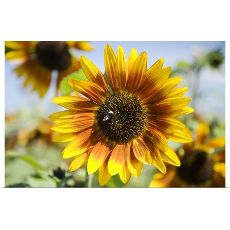 Great BIG Canvas | Rolled Peter French Poster Print entitled Oregon, Portland, Sauvie Island, Sunflower Hybrid And Bee