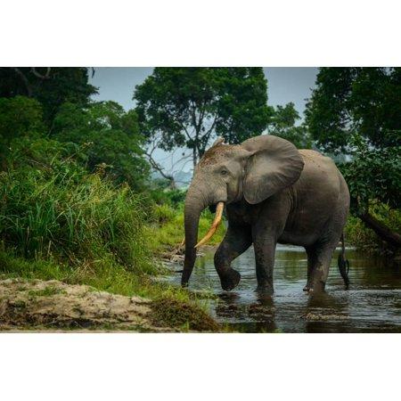 African forest elephant, in Lekoli River. Odzala-Kokoua National Park. Congo Print Wall Art By Roger De La