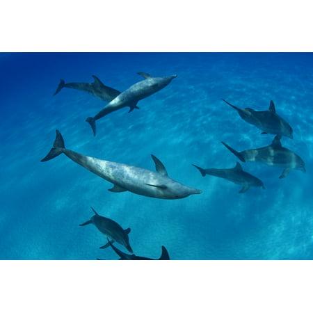 Caribbean Bahamas Bahama Bank Atlantic Bottlenose Dolphin Interact With Atlantic Spotted Dolphin Canvas Art   Dave Fleetham  Design Pics  18 X 12
