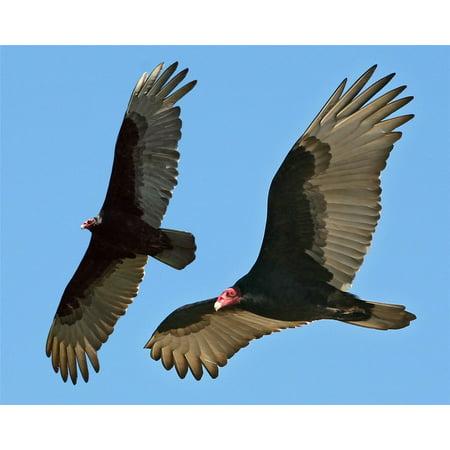 Laminated Poster Turkey Vultures Buzzards Birds Animals Flying Poster Print 24 x 36](Halloween Vulture Buzzard)