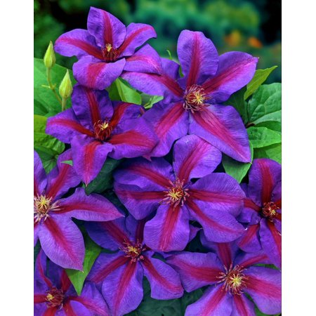 Mrs. N. Thompson Clematis Vine - Purple & Scarlet Blooms - 2.5