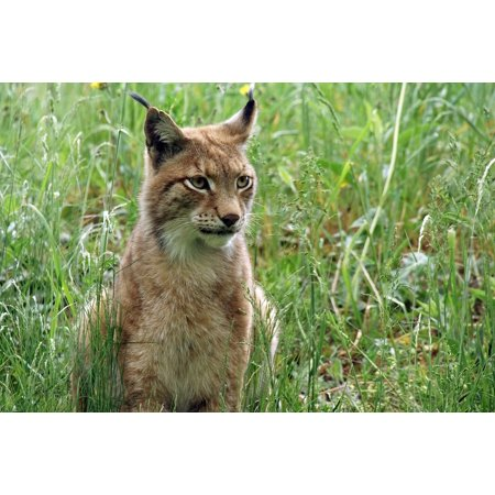 LAMINATED POSTER Lynx Zoo Hair Fur Nature Cat Animal World Poster Print 24 X 36