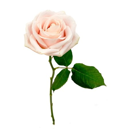 Peel n stick poster of macro bloom pink rose pink rose for Rose adesive