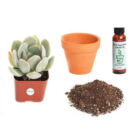 Echeveria Plant - Shop Succulents Echeveria 'Domingo' 2In Plant Kit