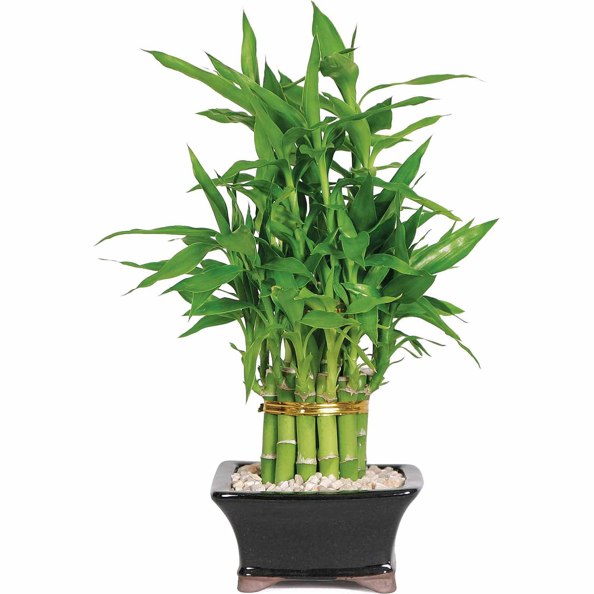 Lucky Bamboo Pyramid 2 Tier Walmart Com