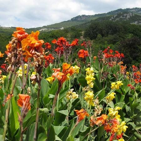 Canna Flower Seeds - Tropical Series: Mix - 25 Seeds - Annual Flower Garden  Seeds - Canna x generalis