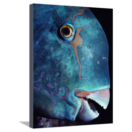 Steepheaded Parrotfish in Great Barrier Reef Stretched Canvas Print Wall Art By Jeffrey L. Rotman