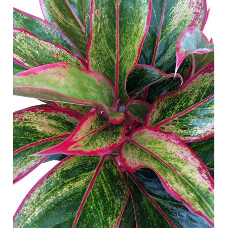 Siam Aurora Chinese Evergreen Plant Aglaonema Grows In