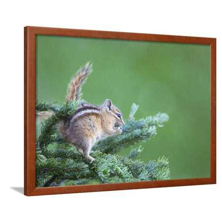 Needle Feed (Endemic Olympic Chipmunk Feeds on New Growth of Subalpine Fur Needles Framed Print Wall Art By Gary)