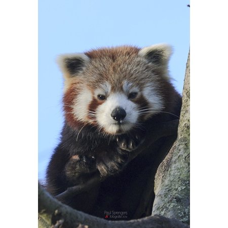 Laminated Poster Bear Red Panda Zoo Poster Print 24 X 36