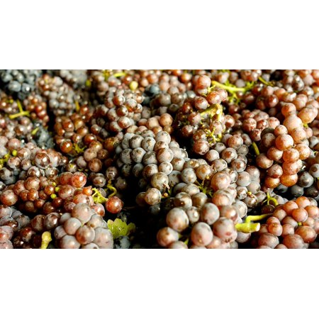 - Peel-n-Stick Poster of Wine Grapes Food Alcohol Wine Grapes Pinot Blanc Poster 24x16 Adhesive Sticker Poster Print
