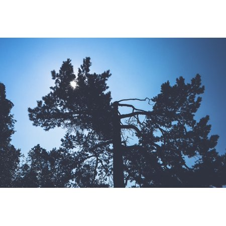 LAMINATED POSTER Conifer Fog Dawn Branch Evergreen Backlit Poster Print 11 x - Backlit Front Print