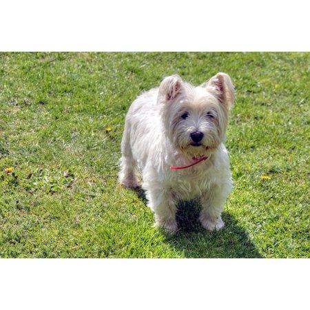 LAMINATED POSTER West Highland White Terrier Pets Westie Dog Poster Print 24 x - West Highland Terrier Westie Trainer