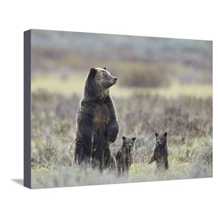Grizzly Bear (Ursus Arctos Horribilis) Sow and Two Cubs of Year All Standing Up on their Hind Legs Stretched Canvas Print Wall Art By James Hager - Bear Standing Up