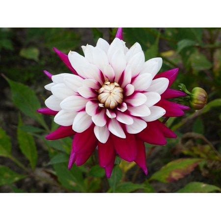 LAMINATED POSTER Summer Garden Flower Plant Dahlia Colors Poster Print 24 x 36