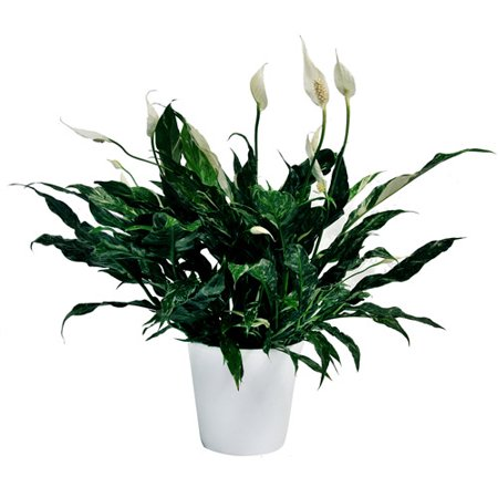 Exotic angel plants 6 spath domino in 1 for How to take care of exotic angel plants