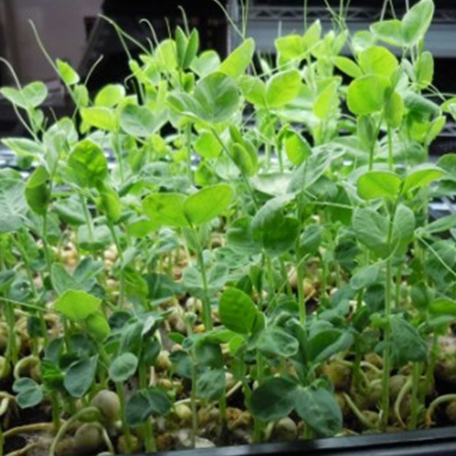 Sprouting Green Pea Seeds - 25 Lbs Bulk - Non-GMO, Organic Sprout & Microgreens Shoots Seed - Grow Sprouts