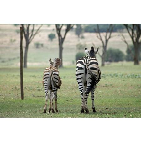 Stretch Zebra - canvas print wildlife africa zebra stretched canvas 10 x 14