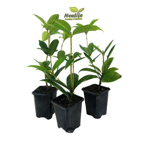 ( 3 ) - Fragrant Tea Olive ( osmanthus ) - Live Plant - ( Pack of 3 )