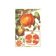 Pomegranate Print (Unframed Paper Print 20x30)